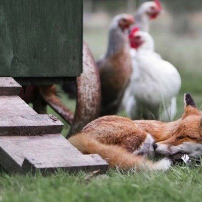 When the fox guards the hen house